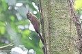 Ivory-billed Woodcreeper (Xiphorhynchus flavigaster) (5783203407).jpg
