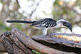 Jackson's hornbill (Tockus jacksoni) female.jpg