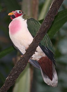 Jambu Fruit Dove 057.jpg