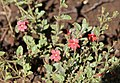 Jamesbrittenia breviflora (Scrophulariaceae) (6786083886).jpg
