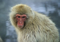 日本獼猴(Japanese Macaque)