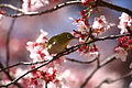 Japanse brilvogel in de kersenbloesem, -14 maart 2010 a.jpg