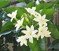 Jasminum sambac04.jpg