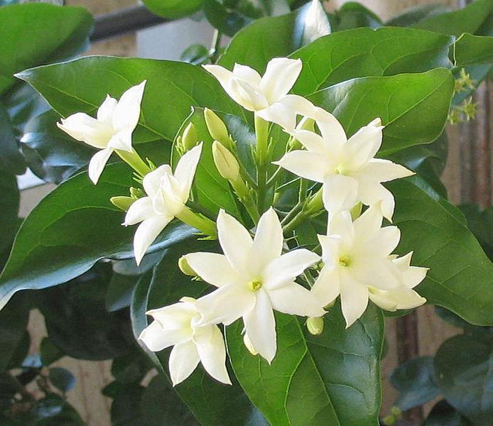 File:Jasminum sambac04.jpg
