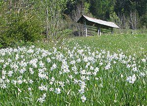 Planina pod Golico - Field of narcissus near Planina pod Golico