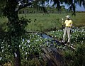 Joe Steinmetz examining water hyacinth along the Tamiami Trail (8698846584).jpg