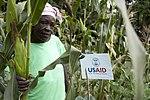 Josephine Odiambo tested an improved maize variety in a corner of her shamba in Western Kenya (7603945196).jpg