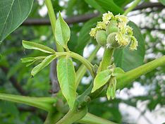 Juglans flower female 20050526 064 part.jpg