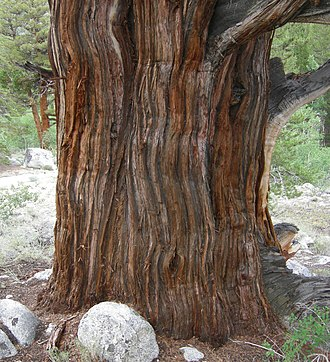 Juniperus occidentalis - Distinctive bark of Juniperus occidentalis var. australis, eastern Sierra Nevada, Rock Creek Canyon, California.
