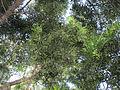 Juniperus macrocarpa (6062684080).jpg