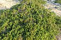 Juniperus phoenicea kz8.jpg