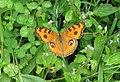 Junonia almana - Peacock Pansy 16.jpg