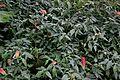 Justicia brandegeeana in Tropengewächshäuser des Botanischen Gartens 04.jpg