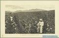 KITLV - 37412 - Demmeni, J. - Tulp, De - Haarlem - Tobacco field at Payakumbuh, Sumatra - 1911.tif