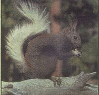 Kaibab-squirrel.jpg