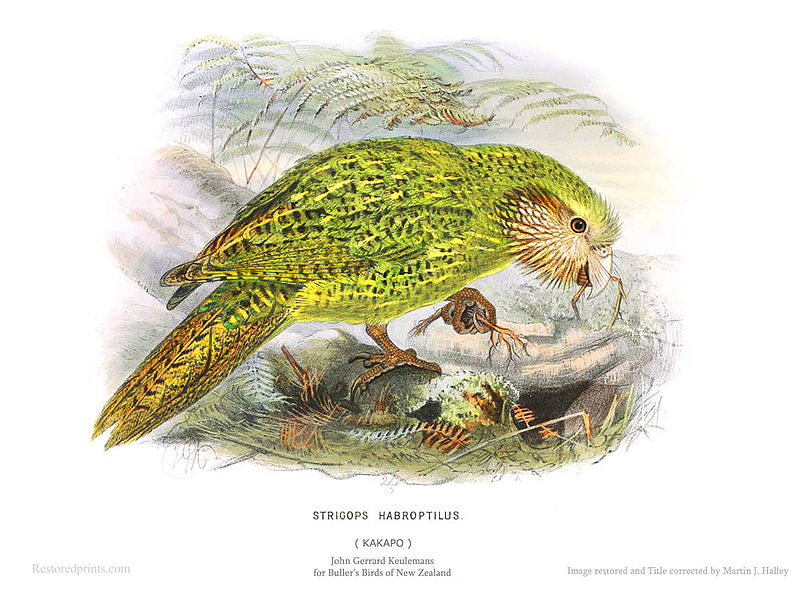 File:Kakapo - Strigops habroptilus - John Gerrard Keulemans for Buller's Birds of New Zealand.jpg