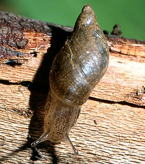 Kanab ambersnail subspecies of mollusc
