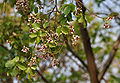 Karanj (Pongamia pinnata) in Hyderabad W IMG 7115.jpg