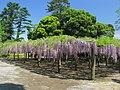 Kasukabe Wisteria Floribunda From Tokaen 1.JPG