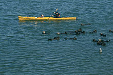 Photo of a person sitting in a boat holding a paddle with otters swimming in the foreground. The boat is approximately 12 feet long and only slightly wider than the paddler.
