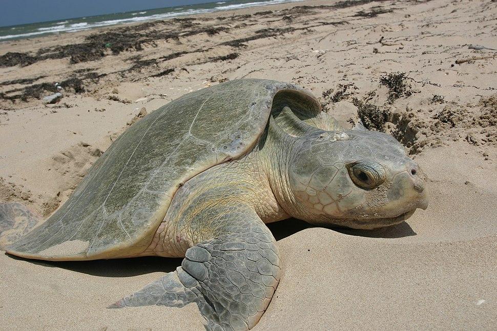 Kemp%27s Ridley sea turtle nesting