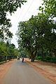 Kigelia africana - Santiniketan-Sriniketan Road - Santiniketan 2014-06-29 5375.JPG