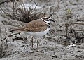 Killdeer (24032723288).jpg