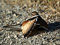 Killdeer pretending it has a broken wing. (4631873702).jpg