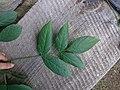 Korina 2015-09-01 Staphylea pinnata 4.jpg