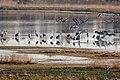 Kraniche Huvenhoopsmoor 2015-11-04 C7D28255 DxOa.jpg