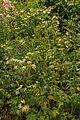 Kvetoucí rostliny u Bělečského písníku 02.jpg