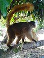 Lémurien femelle de Nosy KOMBA à Nosy-Be.jpg
