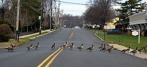 Little Silver, New Jersey - Canada Geese cross street in Little Silver, New Jersey