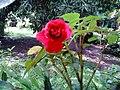 La flor roja.jpg