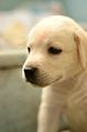 Labrador retriever puppy MZ7 0094.jpg