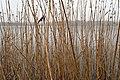 Lac de Virelles (frozen), Chimay (DSC 0251).jpg