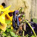 Ladybird hiding in pansies, Sandy, Bedfordshire (16777468865).jpg