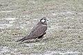 Laggar Falcon (45659090651).jpg