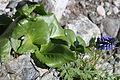 Lagotis glauca (leaf).JPG