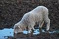 Lamb drinking - rawnsley park.JPG