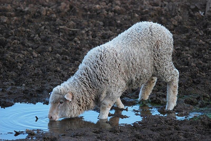 http://upload.wikimedia.org/wikipedia/commons/thumb/7/7f/Lamb_drinking_-_rawnsley_park.JPG/800px-Lamb_drinking_-_rawnsley_park.JPG