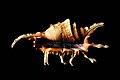 Lambis scorpius shell.jpg