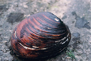 Pink mucket mussel (Lampsilis abrupta), Ohio R...