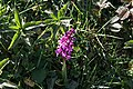 Landkey, Early Purple Orchid - geograph.org.uk - 405235.jpg