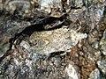 Lanternfly (Fulgoridae) ? (3917424199).jpg