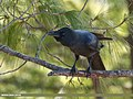 Large-billed Crow (Corvus macrorhynchos) (39637535641).jpg