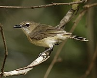 Large-billed gerygone portland08.JPG