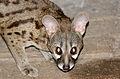Large-spotted Genet (Genetta tigrina) (17356312221).jpg