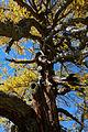 Larix decidua Seckau 20151024 01.JPG