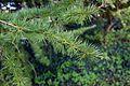 Larix kaempferi 13.JPG